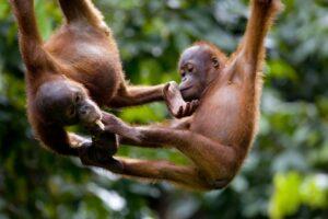 orangutan-GettyImages-148551673-58fe95845f9b581d593583e3